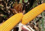 春耕期调查:东北开种天价玉米 卖价是普通玉米的20倍!