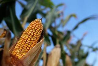 欧盟目前正在酝酿对美国的玉米征收关税
