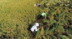 中国科学家成功克隆出杂交稻种子