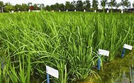 28个品种通过2018年全国海水稻区域试验