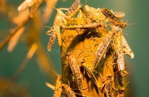 林草发〔2020〕21号国家林业和草原局关于切实做好2020年沙漠蝗相关防控工作的紧急通知