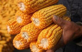 4月1日纽约尾盘,CBOT 5月小麦期货跌超3%
