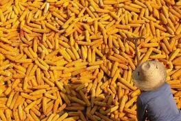 芝加哥期货交易所玉米、小麦和大豆期价2日全线下跌