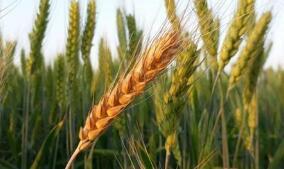 芝加哥期货交易所玉米、小麦和大豆期价8日下跌
