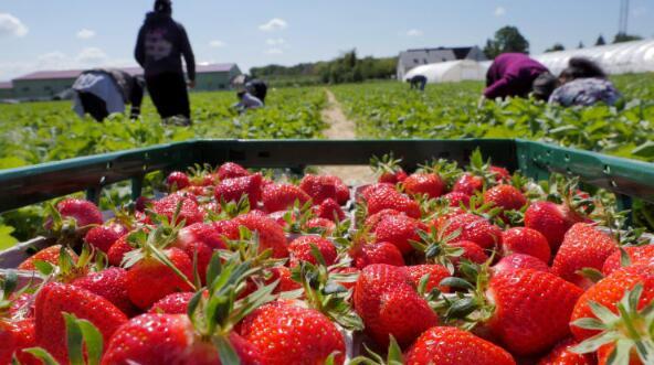 由于新冠疫情干扰供应,世界各地的农民被迫扔水果和鲜花,用草莓喂牛
