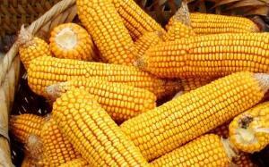 芝加哥期货交易所玉米、小麦和大豆期价11日涨跌不一