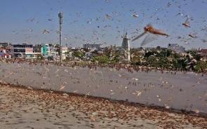 印度城市遭大批蝗虫入侵 德里进入高度警戒状态