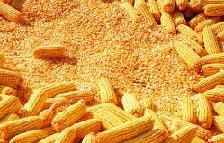 芝加哥期货交易所玉米、小麦和大豆期价1日全线上涨
