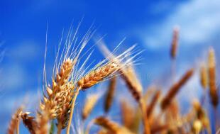 """8月12日:""""农产品批发价格200指数""""比昨天上涨0.03个点"""