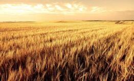 英国小麦收成或跌至40年来最低