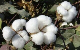 国家统计局关于2020年棉花产量的公告