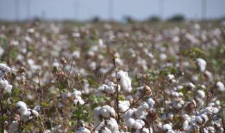 国家统计局解读中国棉花生产情况