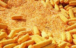 中国成为乌克兰最大的玉米出口目的国