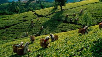 2021年1月斯里兰卡茶叶高产高价