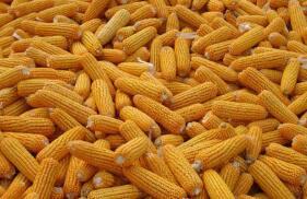 周五,CBOT玉米期货跌2.02%  CBOT小麦期货跌0.04%