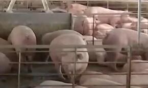 国家发改委:7月份以来 已收储5万吨中央冻猪肉储备